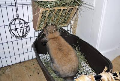 Как в домашних условиях приучить кролика к лотку
