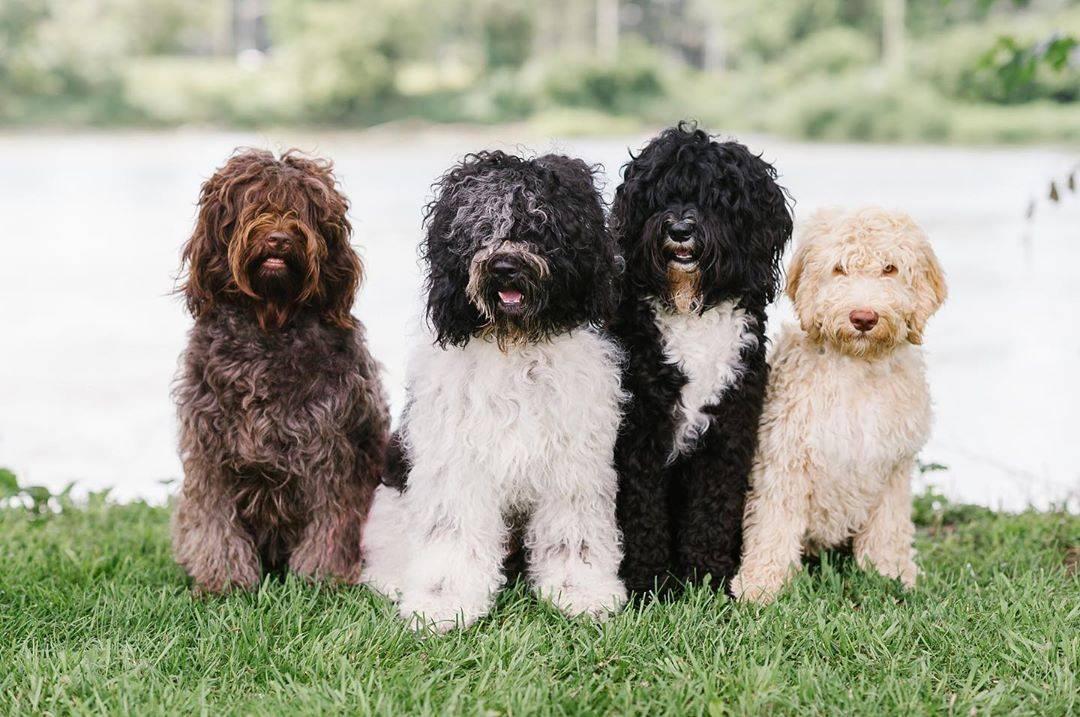 Карманные собачки: маленькие пушистые породы
