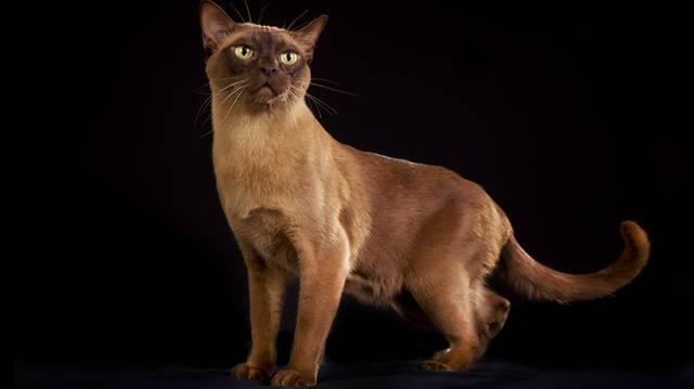 Бурманская кошка: кирпич, завёрнутый в шёлк
