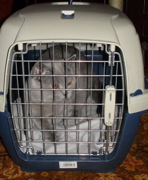 Как перевезти кошку в самолете: правила и нюансы в 2020 году