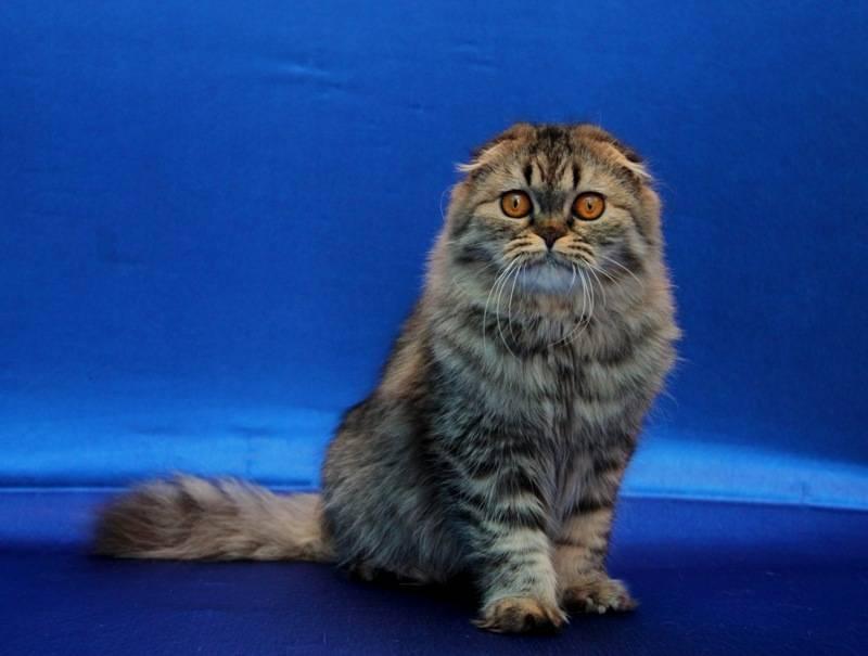Длинношерстная шотландская кошка (34 фото): описание вислоухих и прямоухих пушистых котов шотландской породы. особенности характера