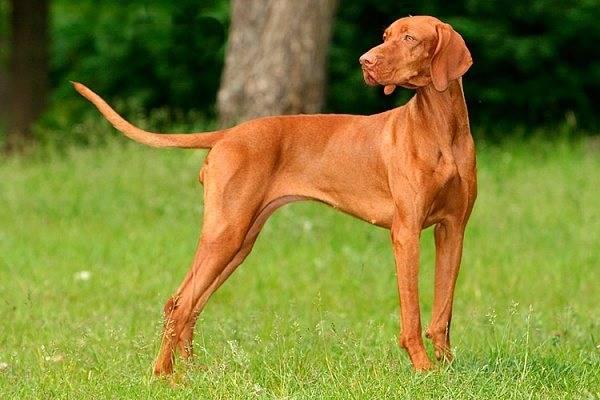 Охотничьи собаки: фото и названия, породы терьер, гончие, легавые