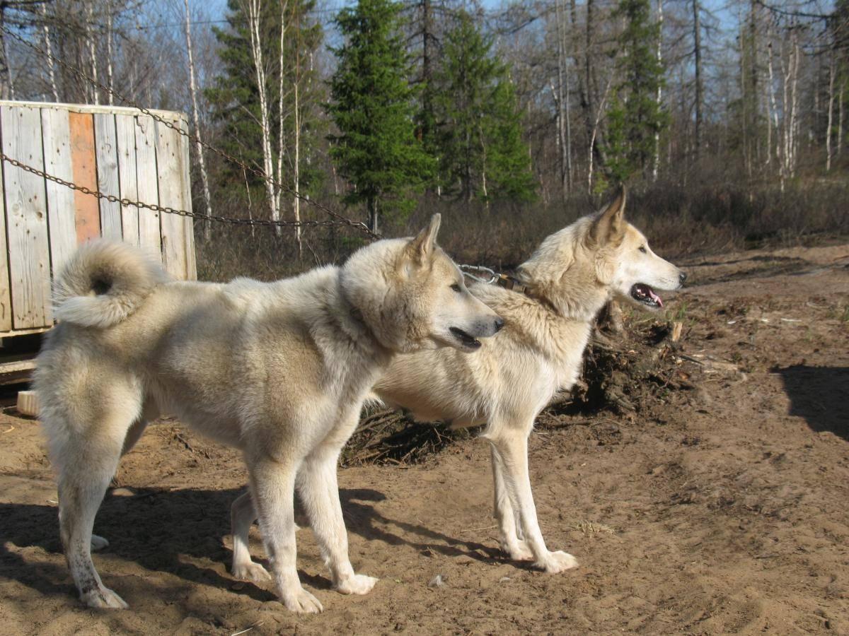 Щенки западно-сибирской лайки: содержание и фото собак
