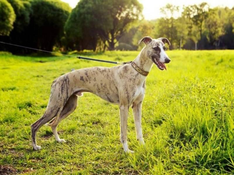 Описание породы собак грейхаунд с отзывами владельцев и фото