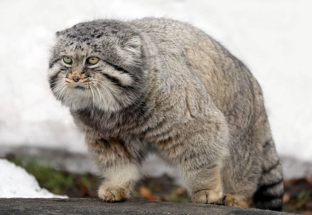 Кот манул на воле и в домашних условиях: как ухаживать, питание и размножение