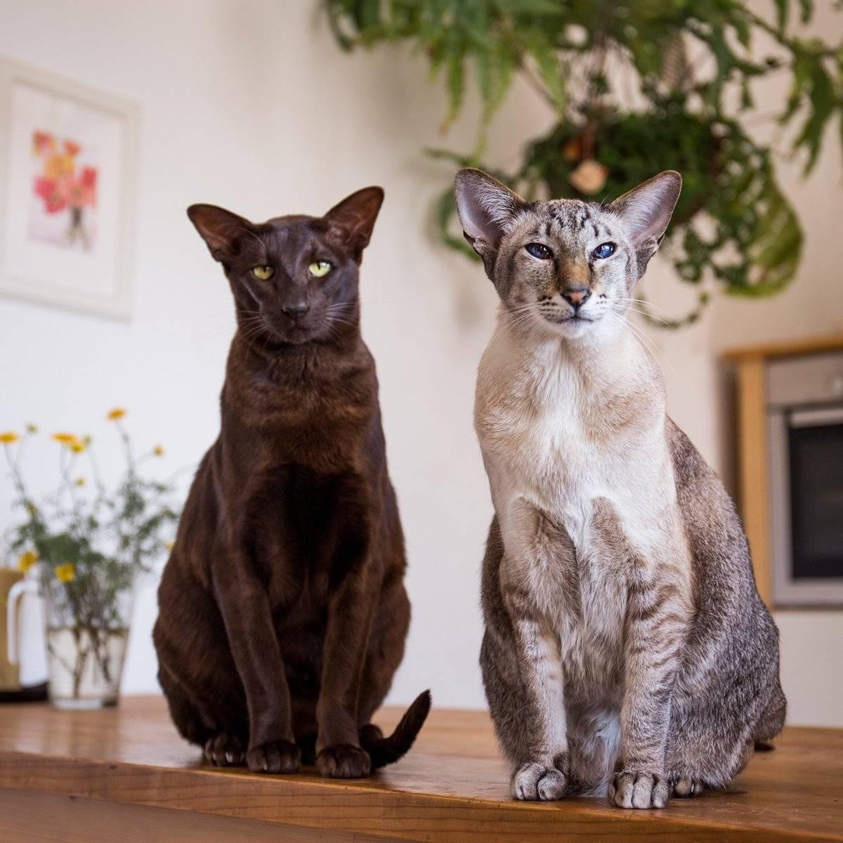Кошки породы сноу-шу: описание, вариации окраса и особенности содержания
