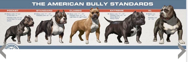 Американский булли — собака ориентированная на хозяина ⋆ собакапедия