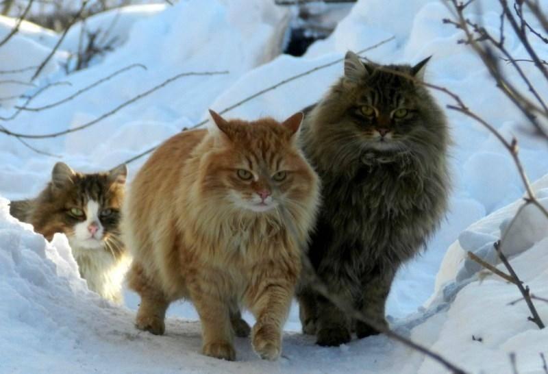 Норвежская лесная кошка: описание, содержание и разведение