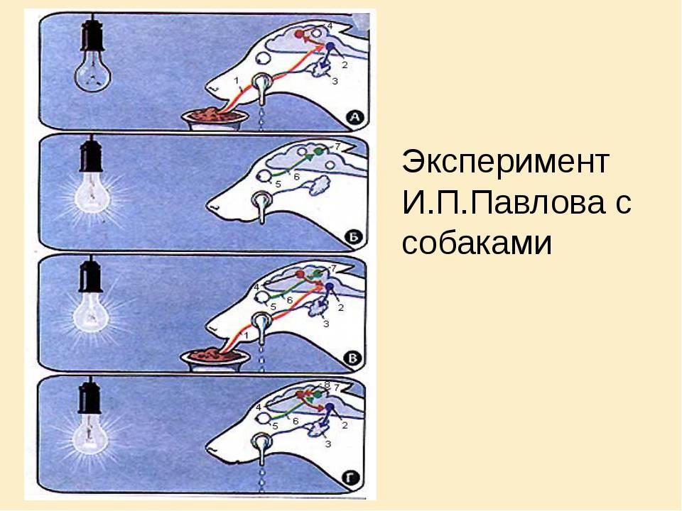 Собаки павлова - практическая психология на aboutyourself.ru собаки павлова - практическая психология на aboutyourself.ru