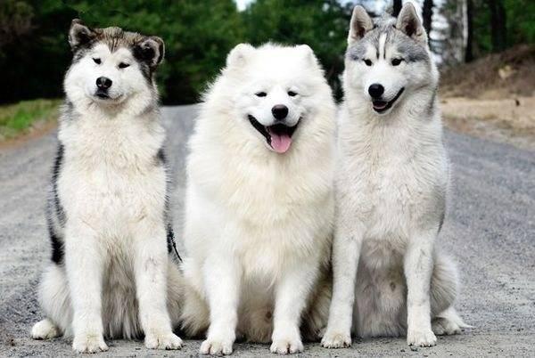Какие бывают хаски: подробное описание внешности сибирской породы собак