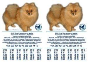 Померанский шпиц медвежьего типа и шпиц лисичка: описание и особенности