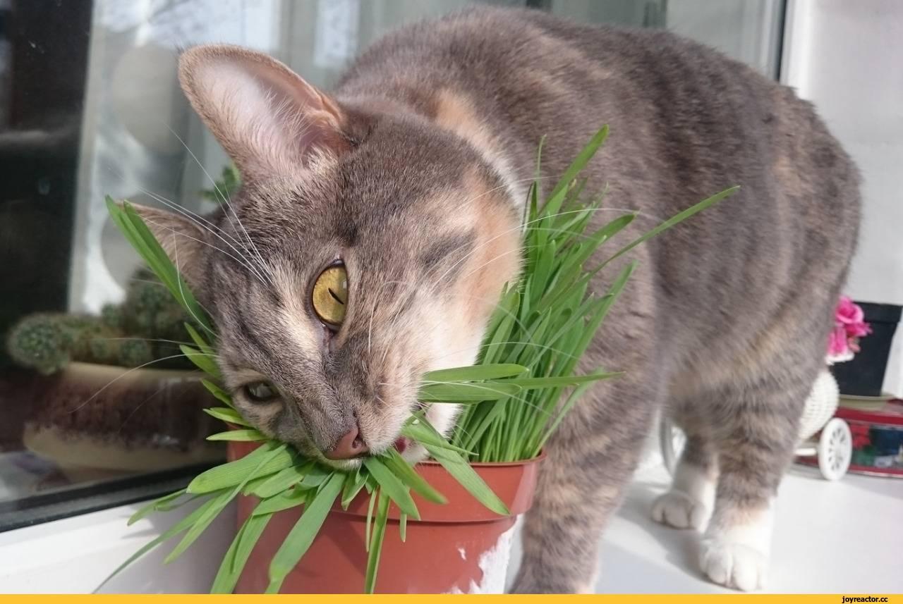 Вегетарианство в мире кошачьих: зачем кошки едят траву?