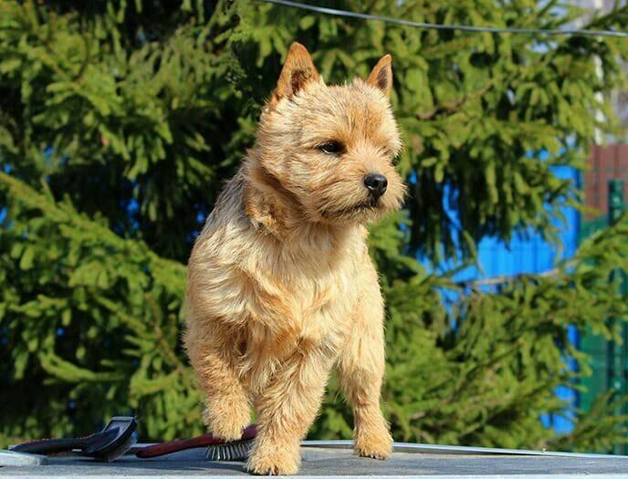 Норвич-терьер: описание породы, фото собак, щенки, уход и содержание, все окрасы