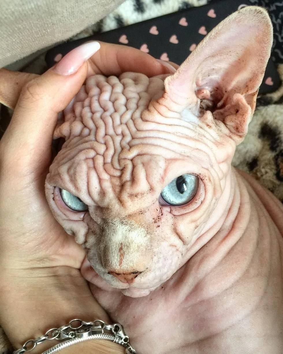 Страшные породы кошек