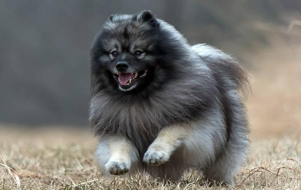 Кеесхонд (вольфшпиц): фото, описание породы, щенки, характер
