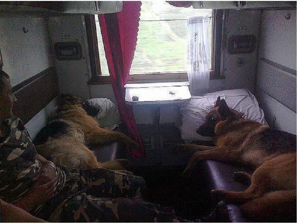 Перевозка животных по ржд в 2020 году: правила транспортировки домашних кошек, собак и иных питомцев в поезде или электричке, и как провезти зверя без сопровождения?