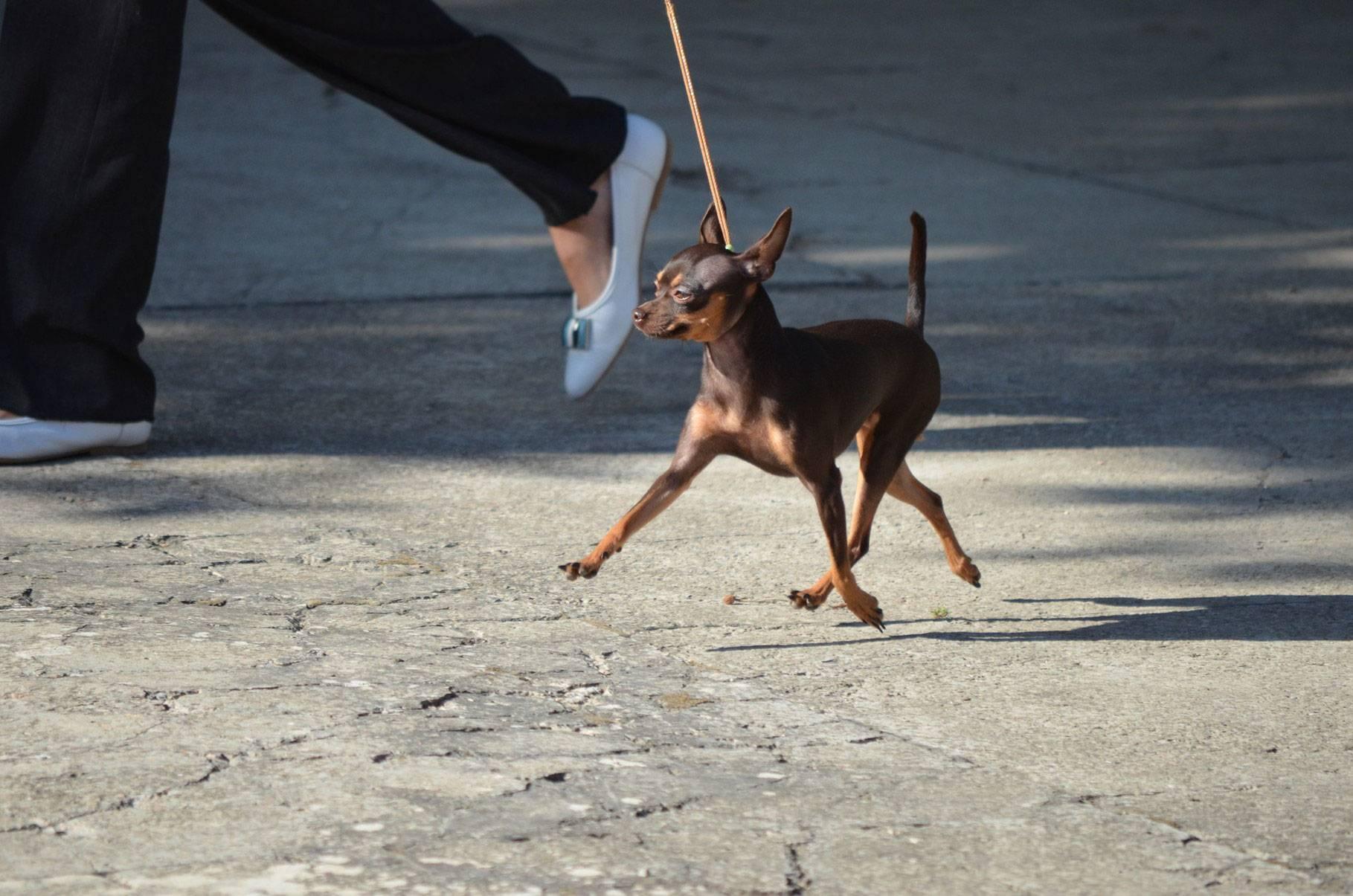 Как правильно воспитывать и дрессировать собак породы той-терьер дома