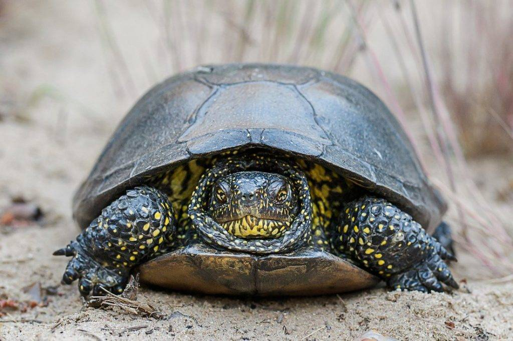 Красноухая черепаха. уход и кормление в домашних условиях