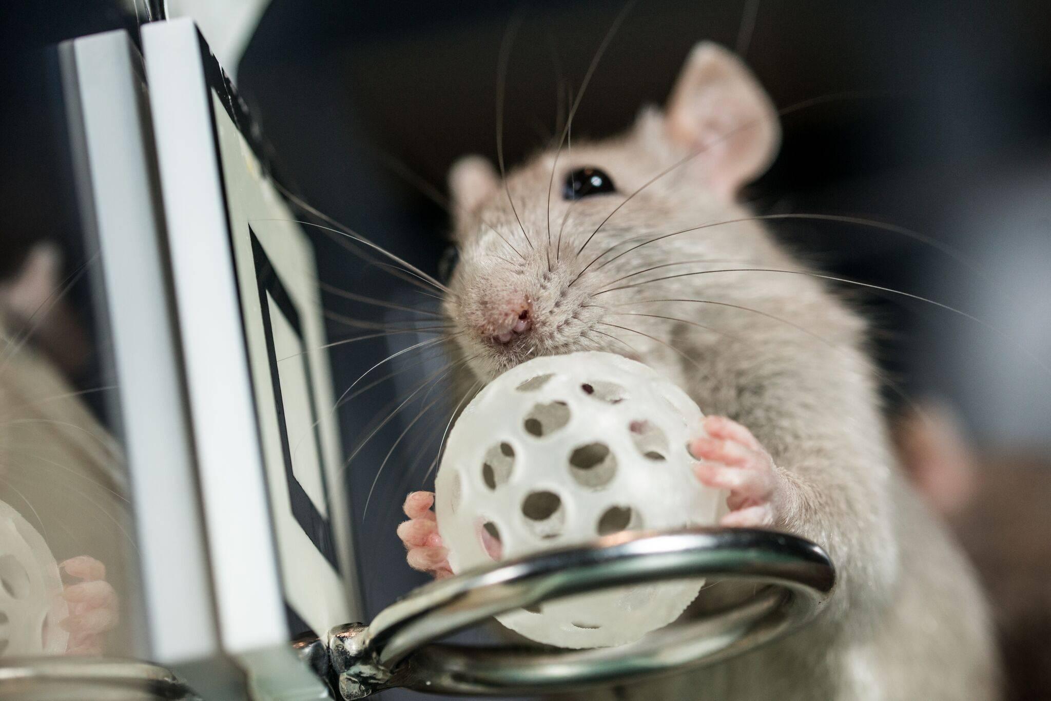 Самодельные игрушки и развлечения для декоративных крыс