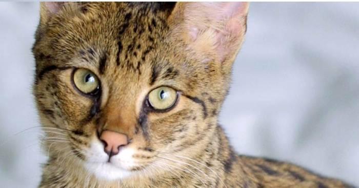 Подробное описание кошек породы серенгети