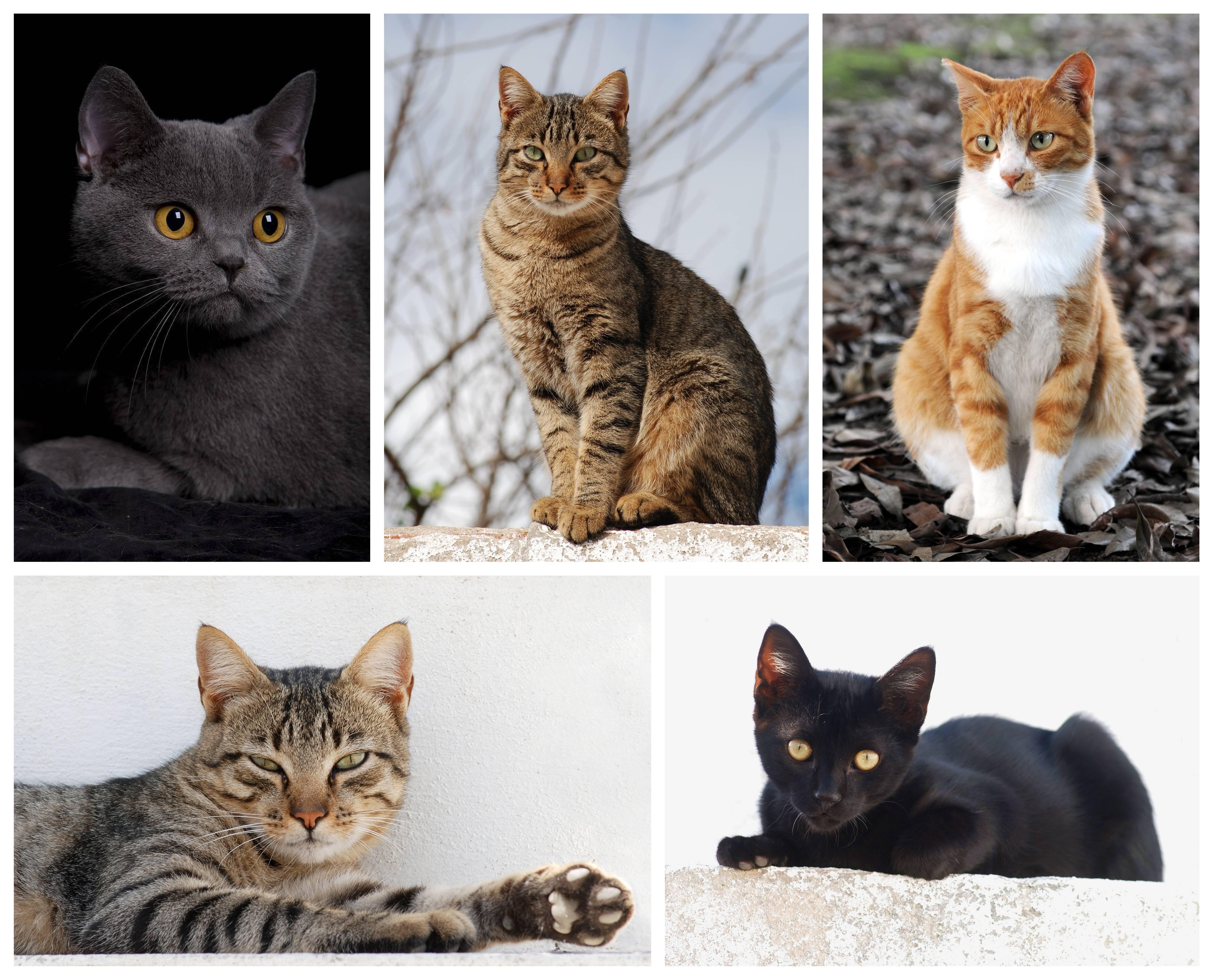 Какую породу кошек лучше выбрать для квартиры: самые спокойные, здоровые, активные и неприхотливые домашние питомцы