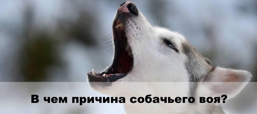 У соседей четвертые сутки воет собака, невыносимо уже... - страна мам