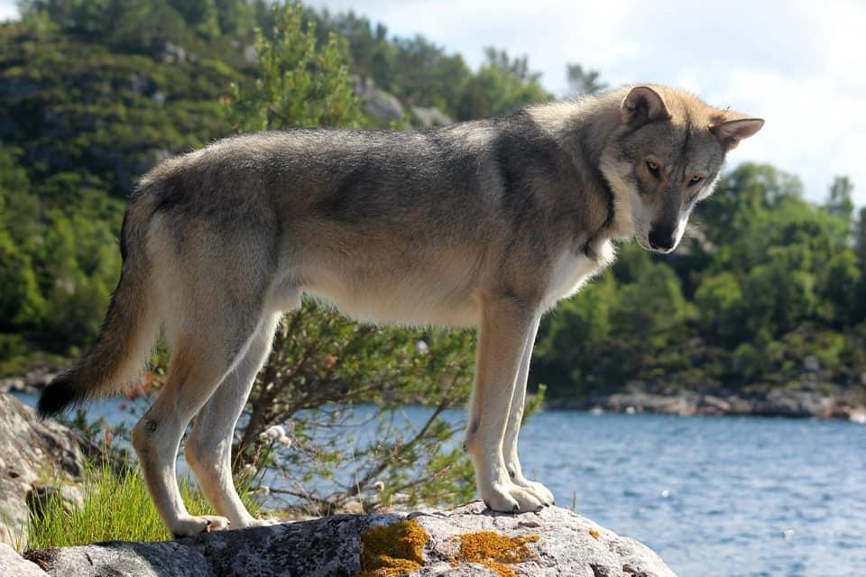 Волкособы (57 фото): что представляет собой гибрид волка и собаки? описание породы, название помеси щенков канадского черного волка с аляскинским маламутом