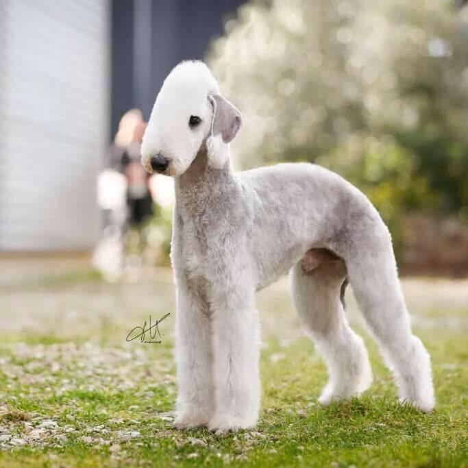 Бедлингтон-терьер: описание породы собак