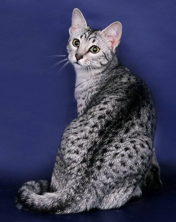 Египетская мау: фото, цена котенка, описание характера и внешнего вида