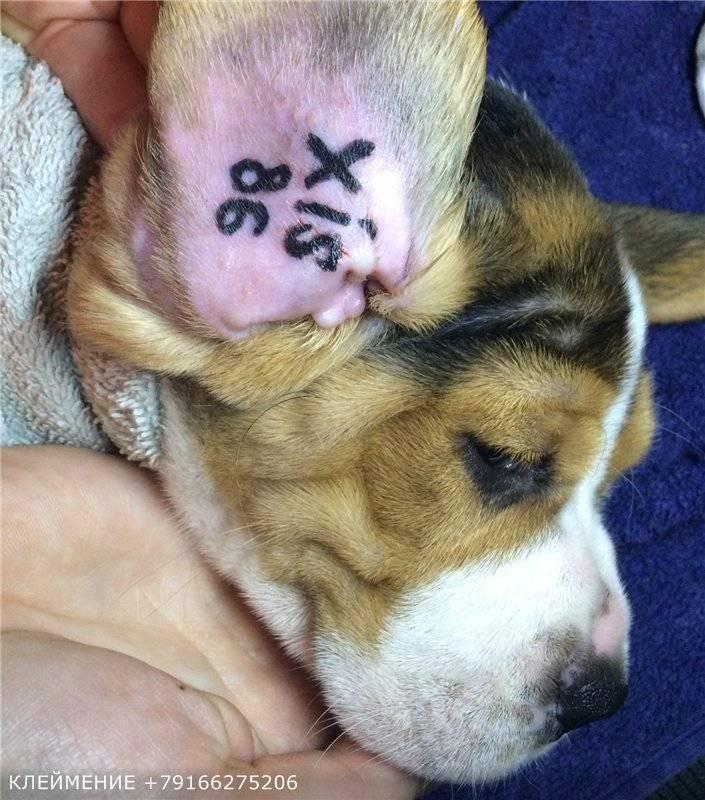 Метрика щенка: что это такое? как обменять щенячью карточку на родословную в ркф? как проверить метрику собаки?