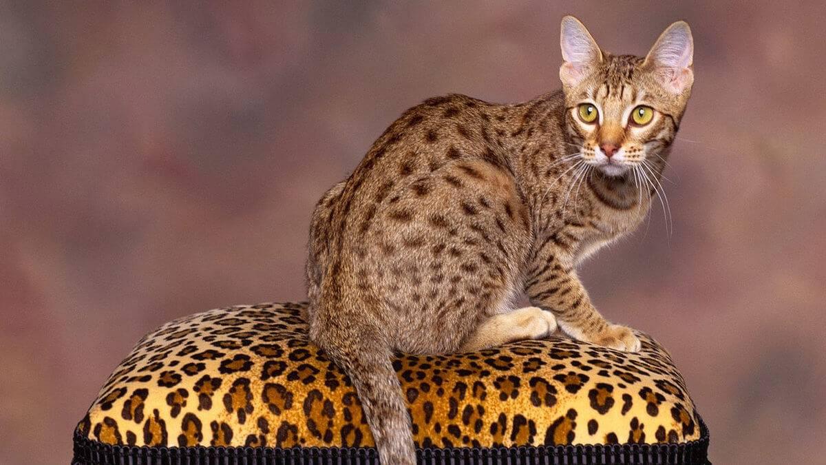 Домашние породы кошек, похожие на диких сородичей. маленькие копии леопардов, пум, тигров и рысей | sm.news