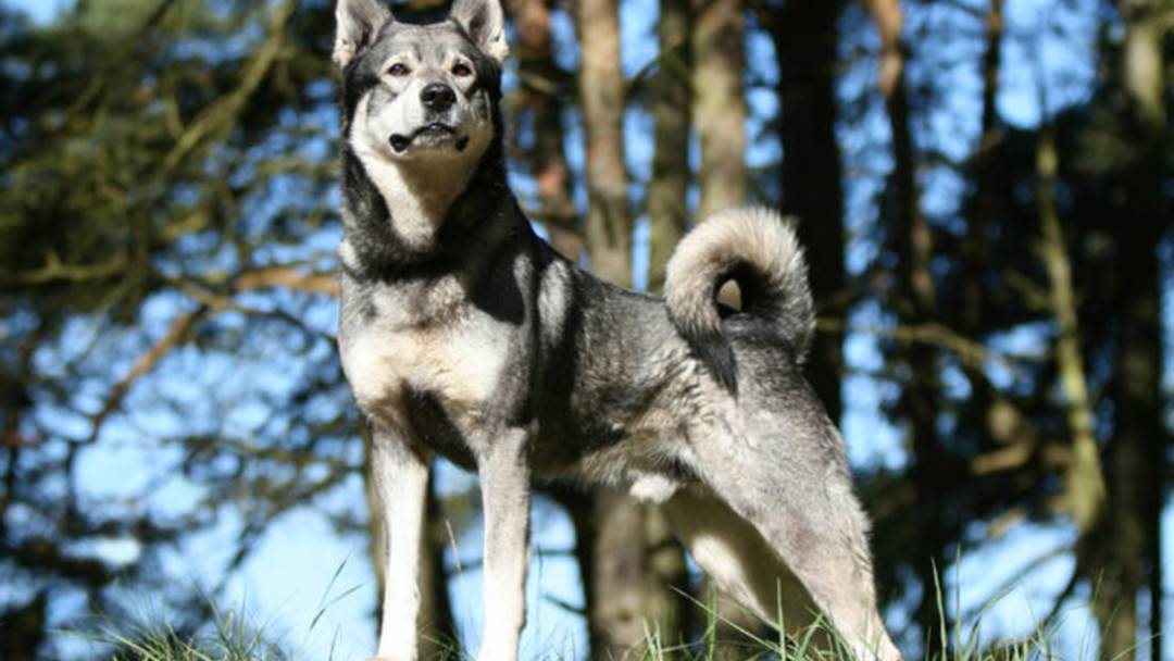 Норвежский лундехунд (лайка): описание породы, характер, уход, фото | все о собаках