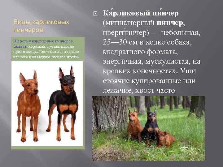 Виды доберманов и похожие на них породы