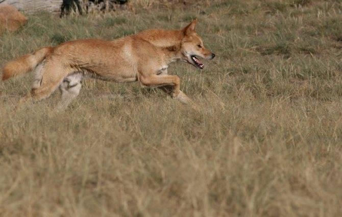 Среда обитания и описание внешности диких австралийских собак динго