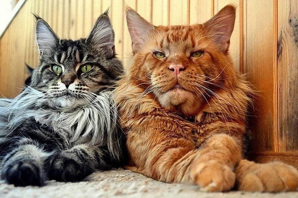 Что будет, если коту обрезать усы?