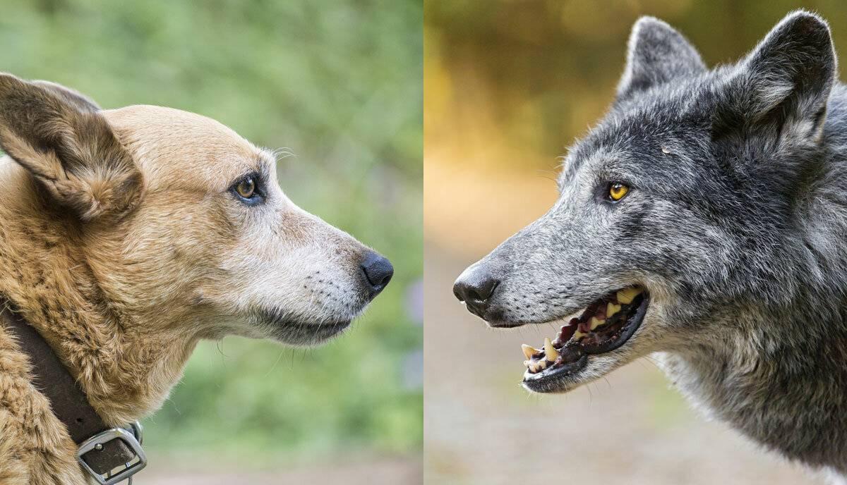 Какие породы собак наиболее похожи на волков по окрасу и телосложению