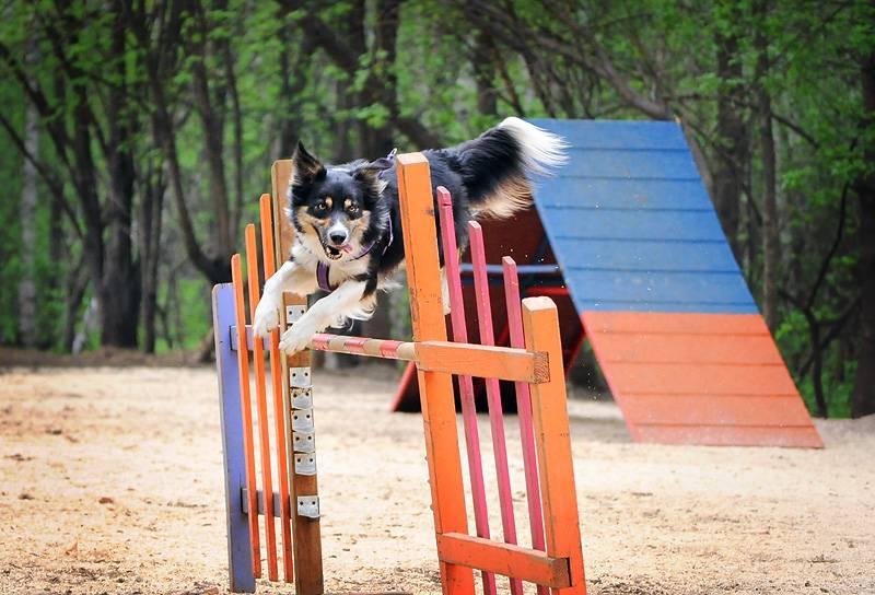 Олимпиада для собак. это аджилити