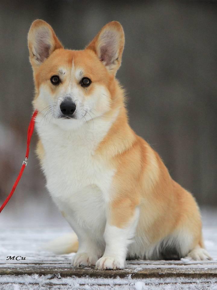 10 карликовых пород собак - фото и названия, породы собак с короткими лапами. - petstime.ru