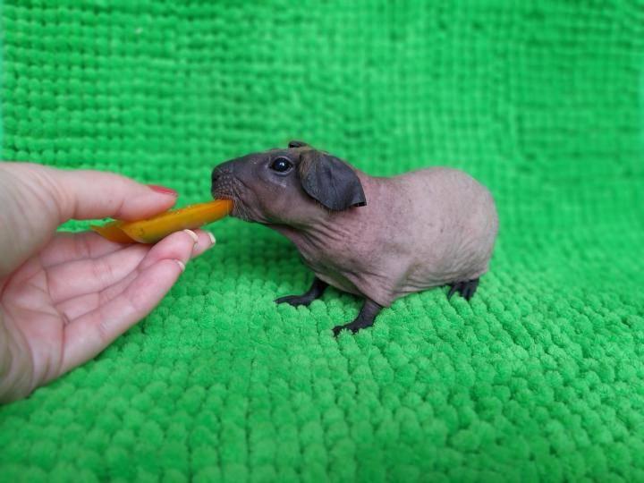 [новое исследование] розеточная морская свинка (абиссинская): уход за породой, цены, отзывы владельцев, фото и видео