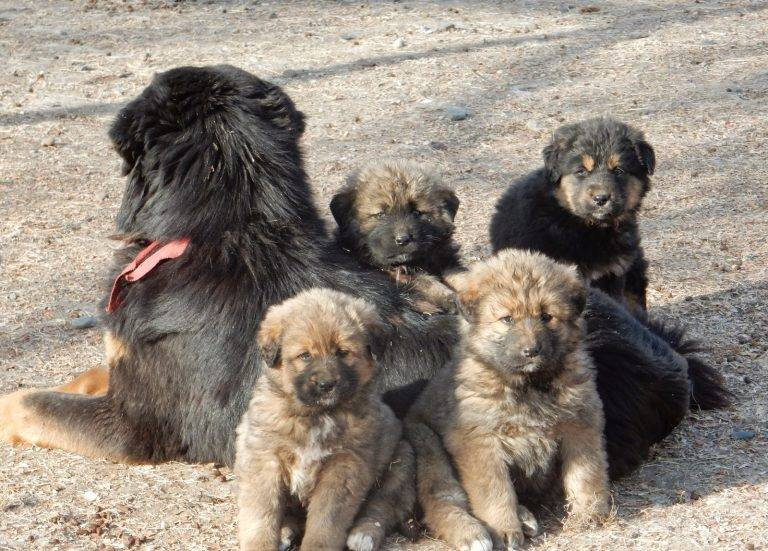 Монгольская овчарка банхар: описание породы