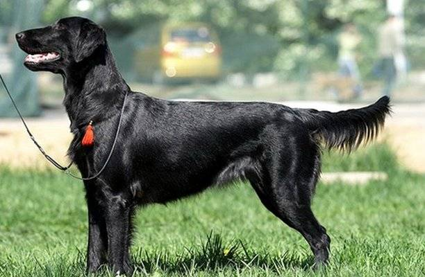 Черный волосатый лабрадор: охотничья порода собак (прямошерстный ретривер)