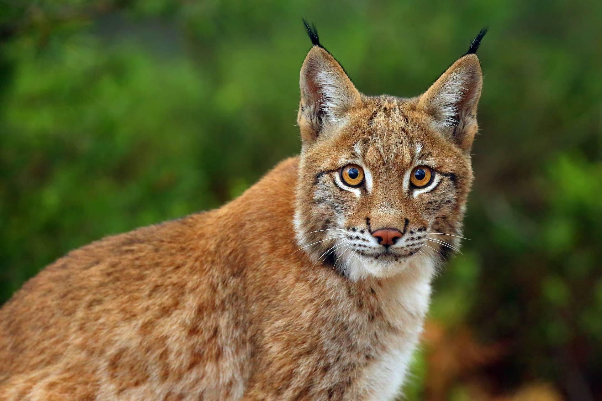 Самые интересные факты о рыси | vivareit