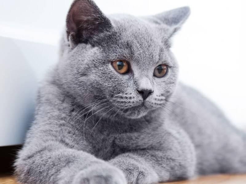 Вислоухий британец – описание породы и характер кота