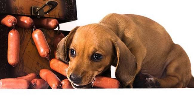 Натуральный рацион питание и сухое кормление собак породы той-терьер