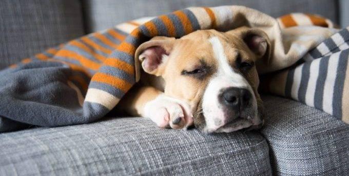 По каким причинам собака может стать вялой?