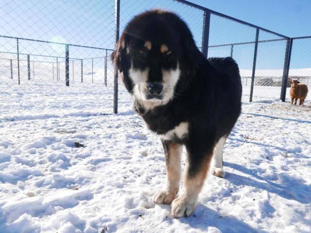 Бурят-монгольский волкодав: история, описание, содержание, питание