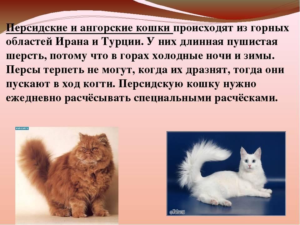 Характер невской маскарадной породы кошек, отзывы владельцев, отношения с детьми и собаками | кошки - кто они?