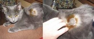 Как вывести шерсть из желудка кошки народными средствами. паста для выведения шерсти из желудка кошки в домашних условиях: инструкция. о средствах для очищения желудка - новая медицина