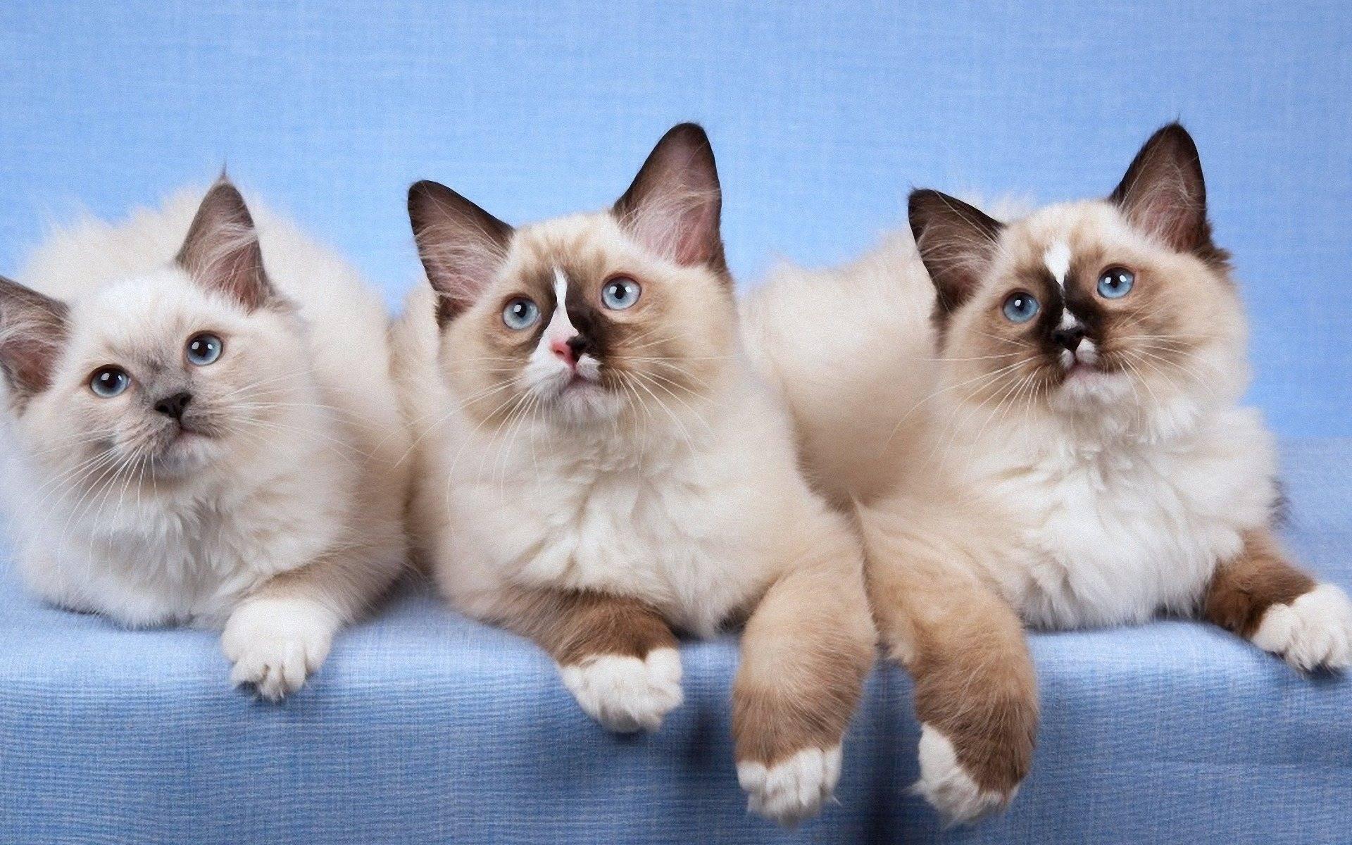 18 лучших пород кошек