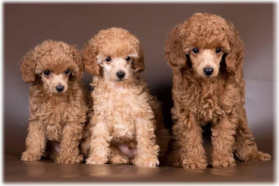 Характер пуделя: карликовый, королевский, той и малый. особенности темперамента породы и отзывы владельцев этих собак